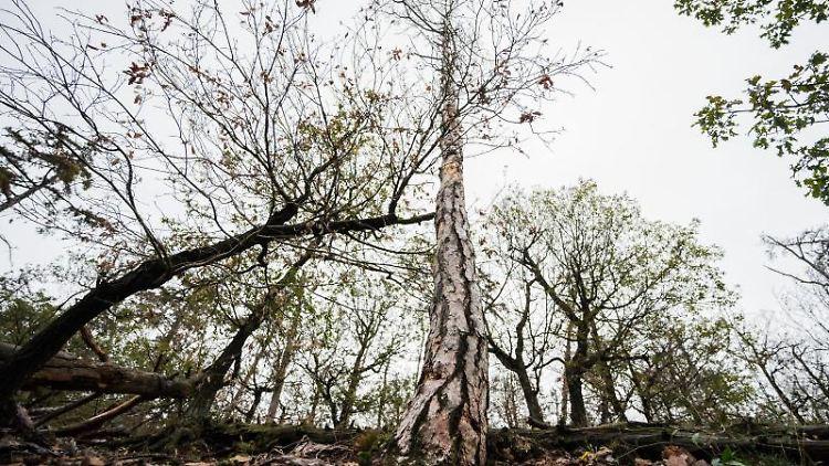 Auswirkung Klimawandel auf den Wald: Stark geschädigte Bäume ragen in den Himmel. Foto: Andreas Arnold/dpa