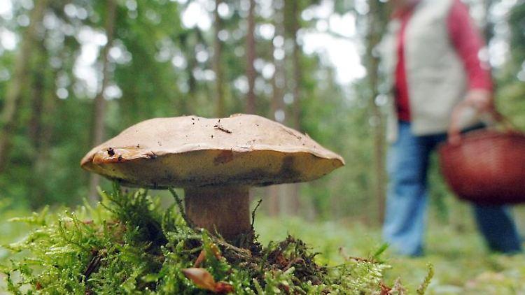 Tschernobyl Pilz