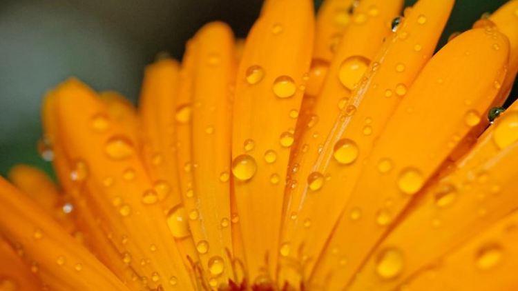 Regentropfen haften auf den Blütenblättern einer Ringelblume in einem Blumenkasten. Foto: Sebastian Willnow/dpa-Zentralbild/dpa