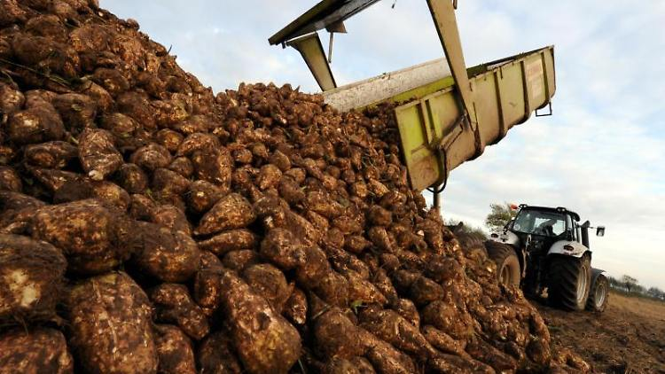 Frisch geerntete Zuckerrüben werden auf einem Feld abgeladen. Foto: Carsten Rehder/dpa