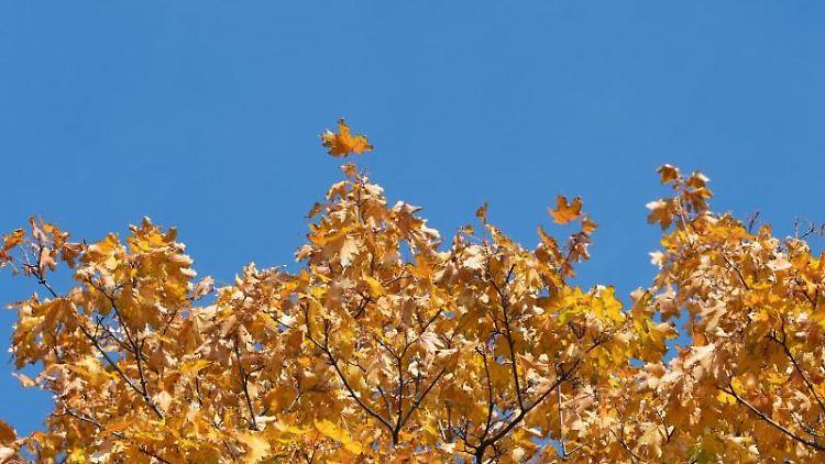 Herbstlich gelbe Blätter eines Ahornbaumes vor blauem Himmel. Foto: Soeren Stache/zb/dpa