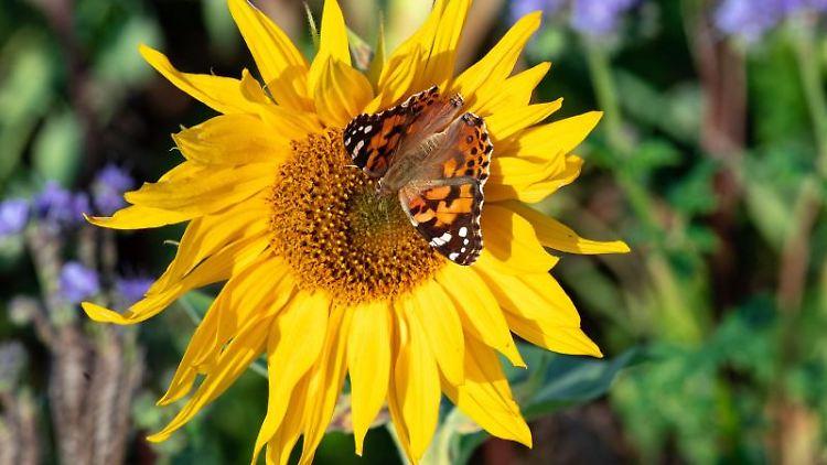 Ein Schmetterling sitzt auf der Wiese eines Ribbecker Landwirtes auf der Blüte einer Sonnenblume. Foto: Soeren Stache/dpa-Zentralbild/dpa