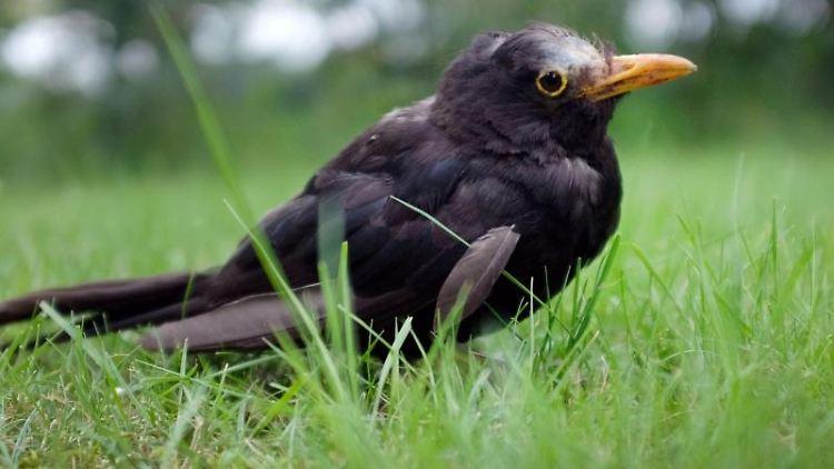 Eine vermutlich am Usutu-Virus erkrankte Amsel hockt im Gras. Foto: Martin Gerten/dpa/Archivbild