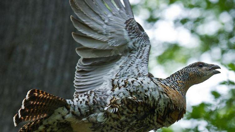 Ein Auerhuhn fliegt durch ein Waldgebiet. Foto: Patrick Pleul/dpa-Zentralbild/dpa/Archivbild