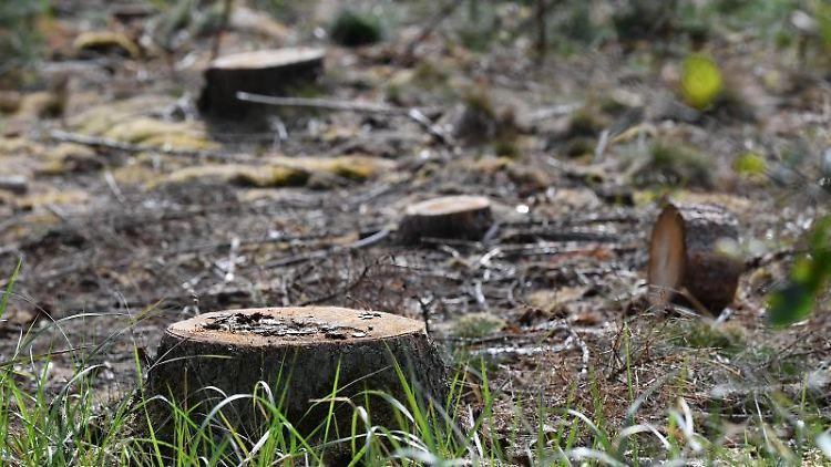 Durch den Borkenkäfer geschädigte Kiefern sind gefällt, übrig bleiben Baumstümpfe. Foto: Martin Schutt/zb/dpa