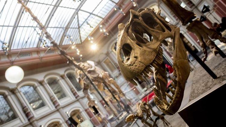Der Schädel eines Allosaurus wird im Berliner Naturkundemuseum ausgestellt. Foto: Christoph Soeder/dpa