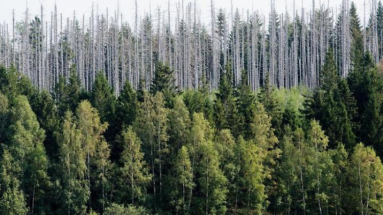 Vom Borkenkäfer zerstörte Fichten stehen im Nationalpark Harz. Foto: Julian Stratenschulte/dpa/Archivbild