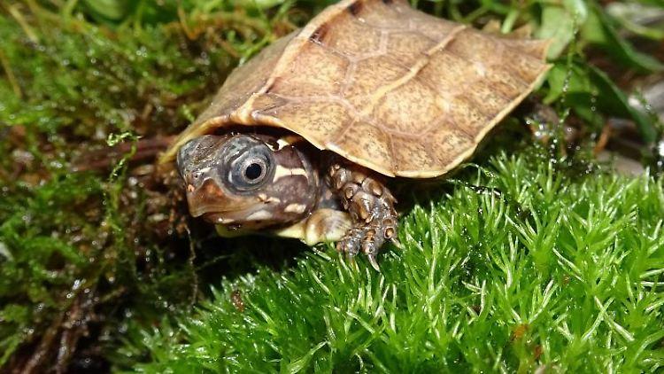 Eine Zackenerdschildkröte (Geoemyda spengleri) sitzt in einem Terrarium. Foto: Anna Rauhaus/Zoo Köln/dpa