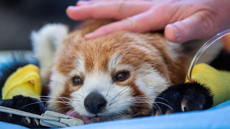 Eine Medizinisch Technische Assistentin streichelt den Roten Panda