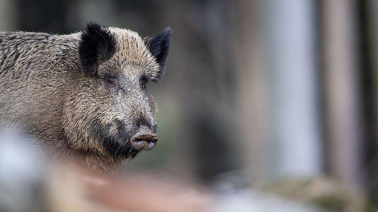 Schweinepest-Fall nahe polnischer Grenze zu Deutschland