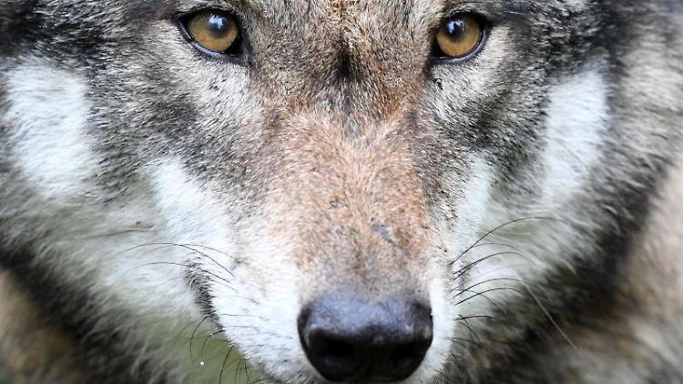 Ein Wolf. Foto: Carsten Rehder/dpa/Archivbild