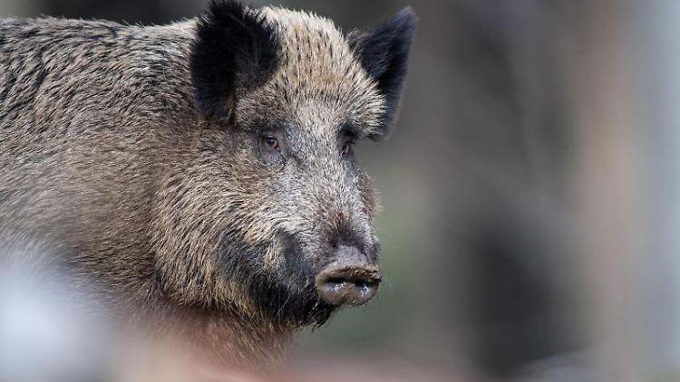 Ein Wildschwein steht auf einem Plateau im Wald. Foto: Lino Mirgeler/dpa/Archivbild