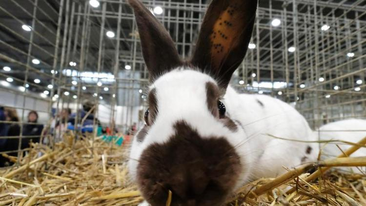Ein Kaninchen der Rasse