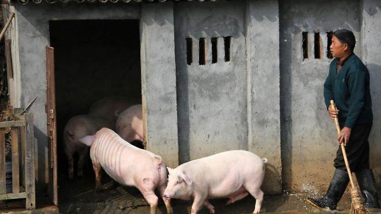 Landwirt Huang Demin treibt in dem Dorf im Landkreis Ningxiang seine Schweine in den Stall. Foto: Guo Quan/FEATURECHINA/dpa/Archivbild