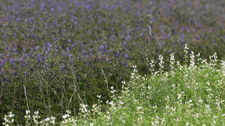 Versuchsfläche mit blauen Lupinen. Foto: Bernd Wüstneck/dpa/Archivbild