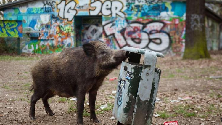 Ein weibliches Wildschwein (Bache) sucht in einem Mülleimer nach Futter. Foto: Gregor Fischer/dpa/Archivbild