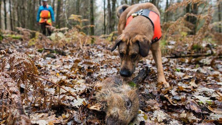 Ein Suchhund hat ein Stück Wildschwein aufgespürt, das zum Training ausgelegt wurde. Foto: Oliver Dietze/dpa/Archivbild