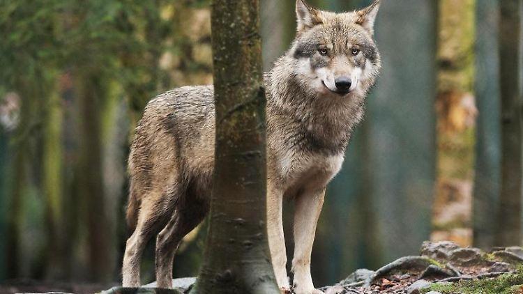 Ein Wolf steht zwischen Bäumen. Foto: Klaus-Dietmar Gabbert/zb/dpa/Archivbild