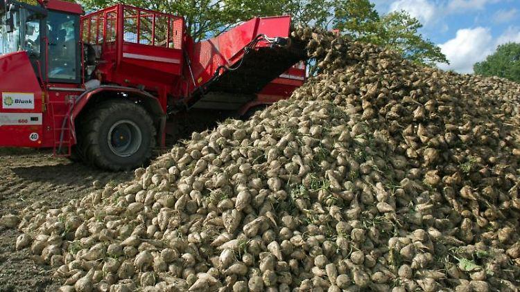 Eine spezielle Erntemaschine für Zuckerrüben entlädt frische Rüben an einem Lagerplatz. Foto: Stefan Sauer/zb/dpa