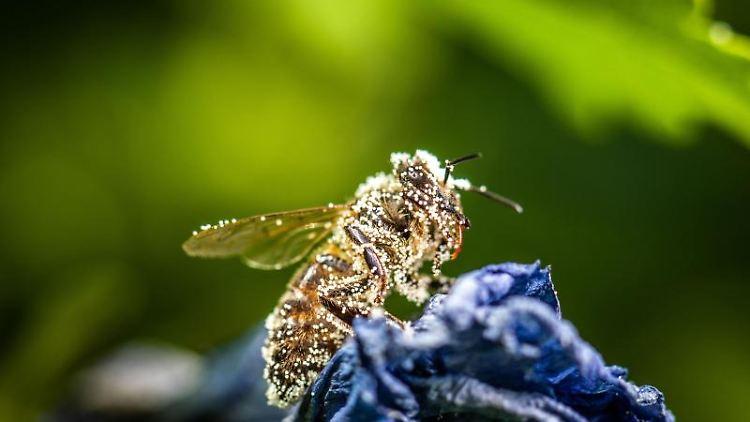 Eine Biene ist mit Pollen bedeckt, während sie sich auf einer Blüte ausruht. Foto: Frank Rumpenhorst/dpa