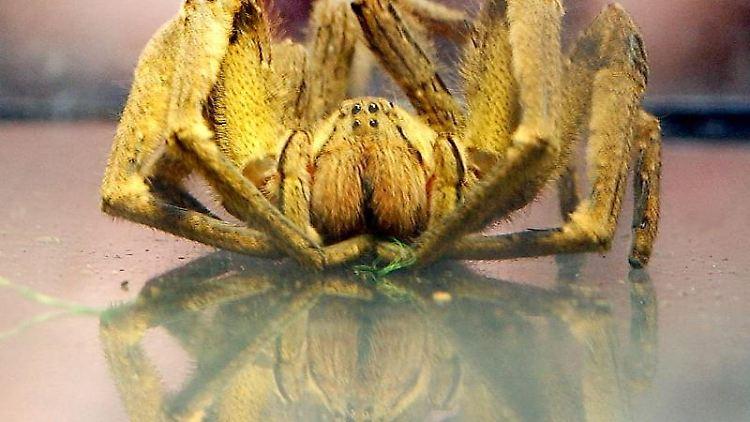 Eine Bananenspinne. Foto: Peter Kneffel/dpa/Symbolbild