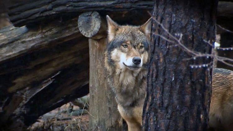 WolfKindergarten.jpg