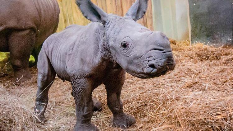 Der Nachwuchs von Breitmaulnashorn-Dame Shakina. Foto: Marcel Stawinoga/Zoo Dortmund/dpa