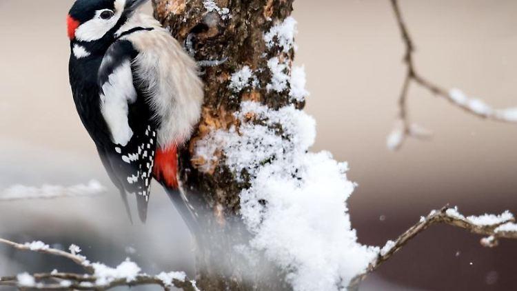 Ein Buntspecht sitzt auf einem schneebedeckten Haselnussbaum. Foto: Sven Hoppe/dpa/Archiv