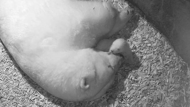 Ein Eisbär-Baby liegt mit ihrer Mutter Milana in der Wurfhöhle. Foto: --/Zoo Hannover/dpa/Archivbild