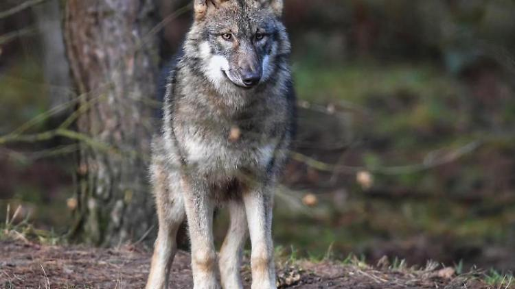 Ein Wolf steht in seinem Gehege. Foto: Patrick Pleul/dpa-Zentralbild/dpa/Archivbild