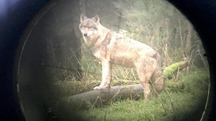 Ein Wolf steht im Wildpark Eekholt. Foto: Carsten Rehder/dpa/Archivbild
