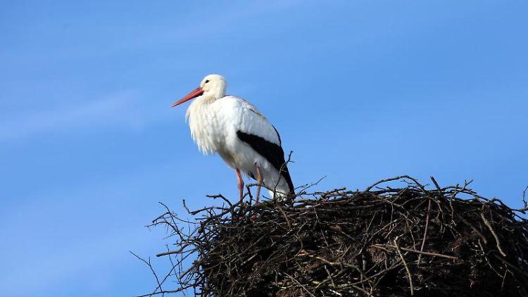 Ein Storch steht in seinem Nest. Foto: Bernd Wüstneck/zb/dpa/Archivbild