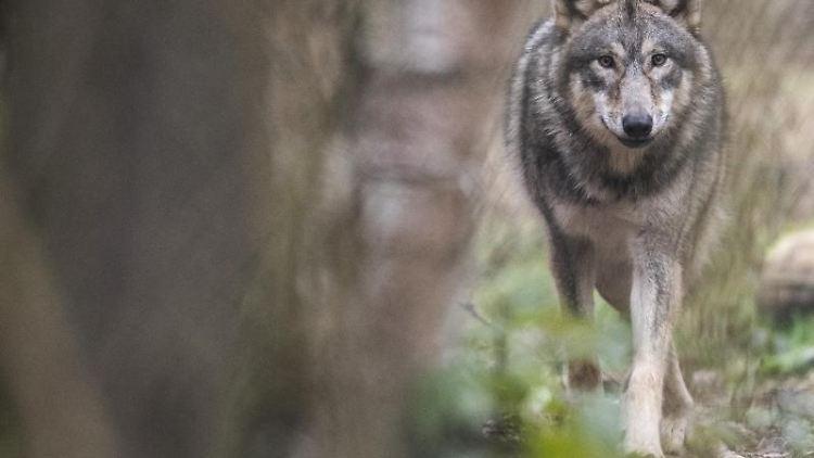 Ein Wolf läuft durch den Wald. Foto: Boris Roessler/dpa/Archivbild