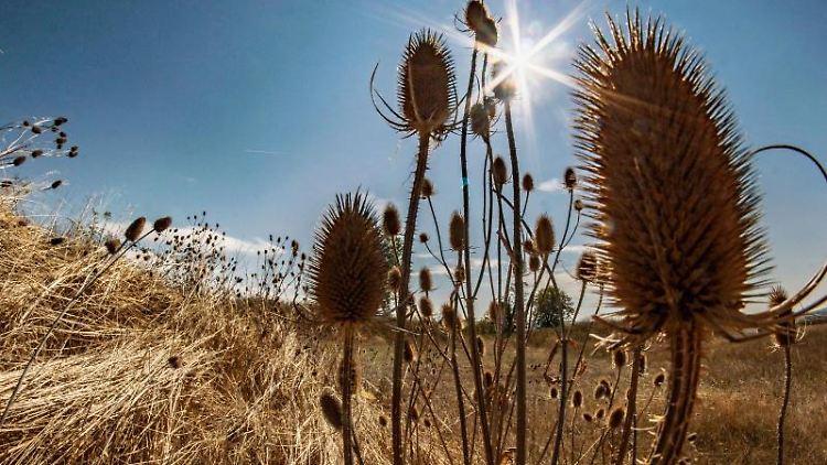 Die Sonne brennt vom Himmel auf die trockenen Felder und auf Disteln am Rande der hessischen Rhön. Foto: Frank Rumpenhorst/dpa
