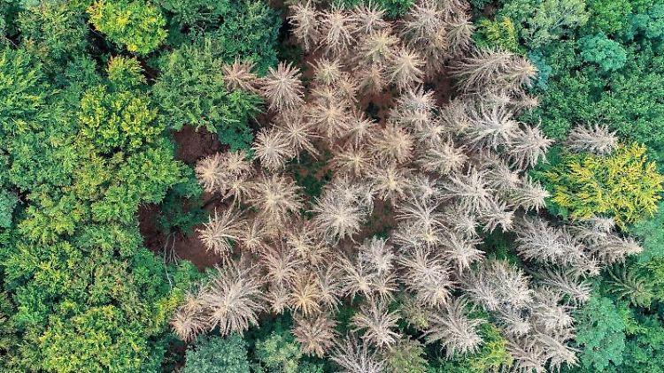 Abgestorbene Fichten stehen zwischen noch gesunden Nadel- und Laubbäumen. Foto: Patrick Pleul/dpa-Zentralbild/ZB/Archivbild