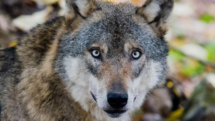 Ein Wolf. Foto: Julian Stratenschulte/dpa/Archivbild