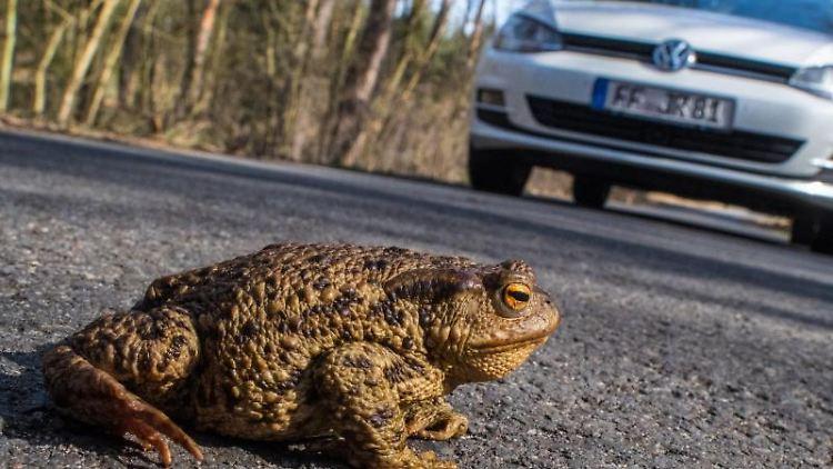 Eine Kröte ist auf einer Straße in einem Wald zu sehen. Foto: Patrick Pleul/dpa-Zentralbild/dpa/Archivbild