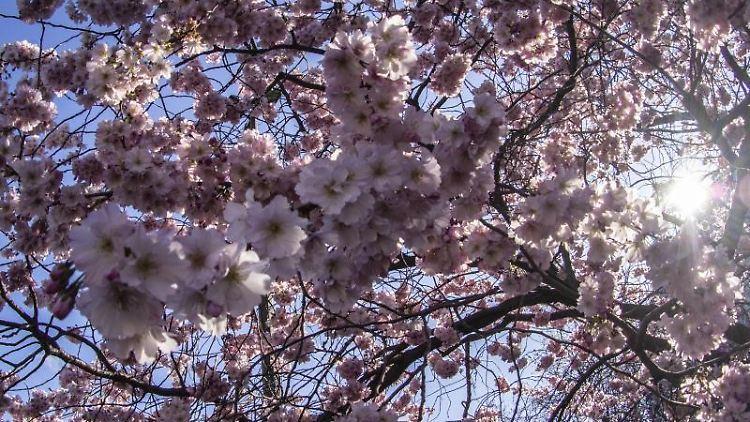Kirschblüten bei strahlender Sonne im Stadtteil Prenzlauer Berg. Foto: Paul Zinken/dpa