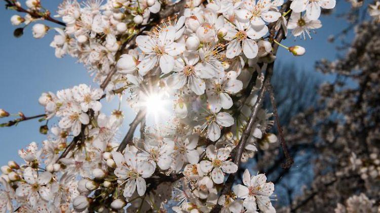 Die Sonne scheint durch die Blüten einer Zierkirsche am Elbufer. Foto: Robert Michael/dpa-Zentralbild/dpa