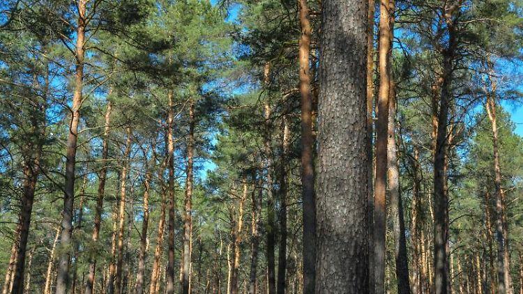 Blick in einen Kiefernwald. Foto: Patrick Pleul/dpa-Zentralbild/ZB