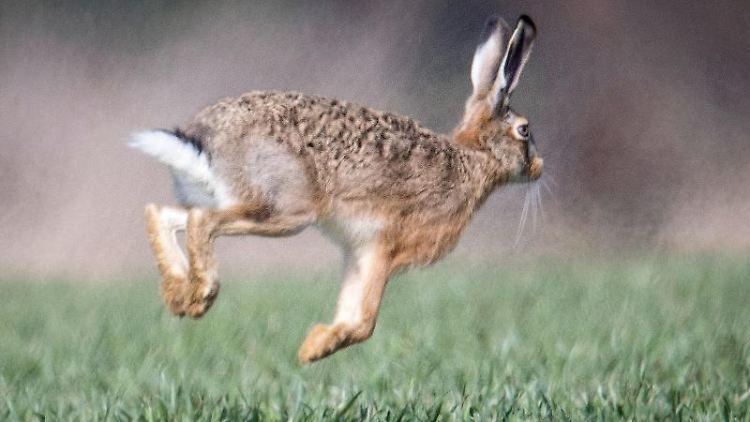 Ein Feldhase läuft über ein Feld. Foto: Boris Roessler/dpa/Symbolbild