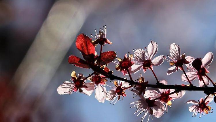 Eine blühende Blutpflaume steht im Sonnenschein. Foto: Karl-Josef Hildenbrand/dpa/Archivbild
