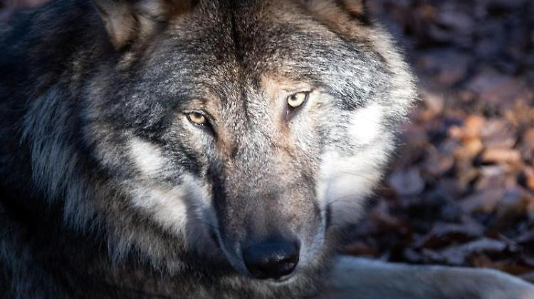 Ein Wolf liegt auf dem Waldboden. Foto: Soeren Stache/dpa-Zentralbild/dpa/Symbolbild
