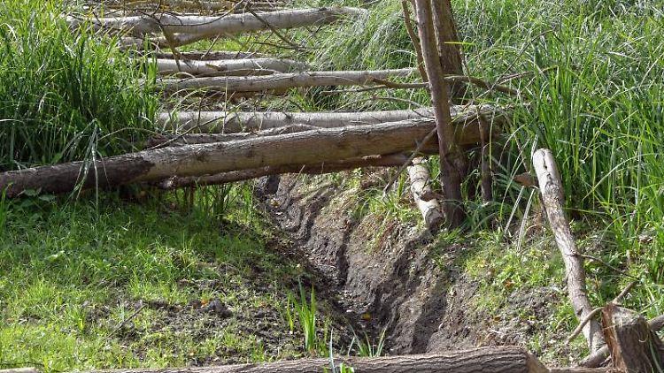 Vom Biber gefällte Pappeln liegen in einen ausgetrockneten Sumpfgebiet. Foto: Patrick Pleul/dpa-Zentralbild/dpa/Symbolbild