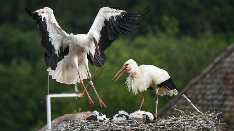 Ein Storch landet auf seinem Horst, in dem sein Nachwuchs liegt. Foto: Felix Kästle/dpa
