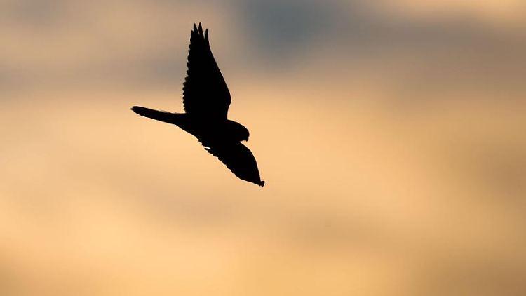 Falke im Morgengrauen. Foto: Julian Stratenschulte/dpa/Symbolbild