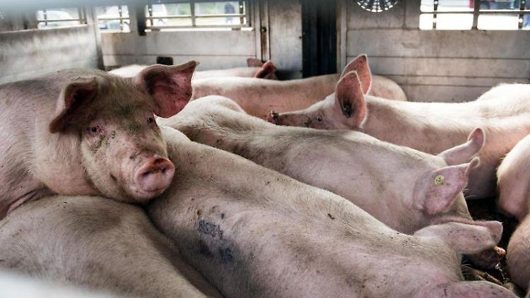 Schweine befinden sich in einem Viehtransporter. Foto: picture alliance / Bernd Thissen/dpa/Archivbild
