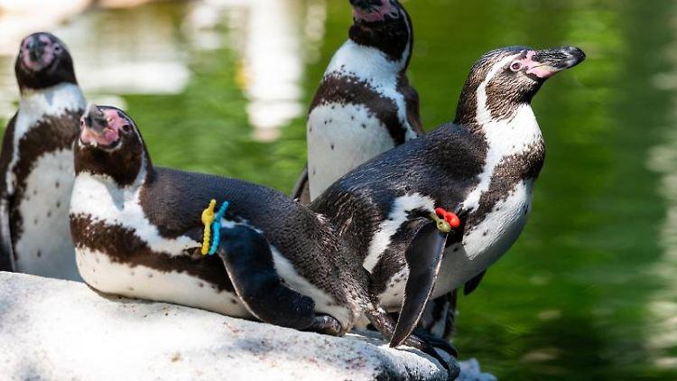 Ausgewachsene Humboldt-Pinguine sitzen am Wasser. Foto: Philipp Schulze/dpa