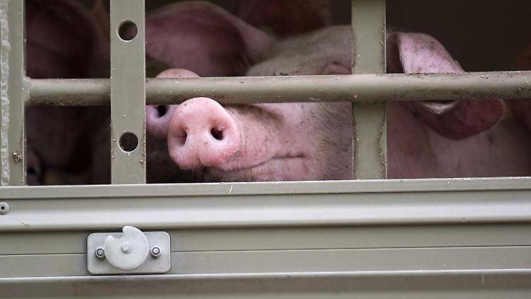 Ein Schwein schaut aus einem Tiertransporter. Foto: Sebastian Gollnow/dpa