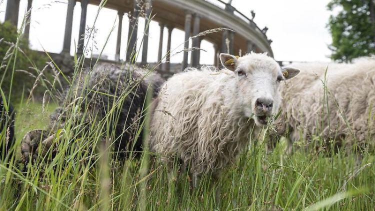 Schafe stehen auf einer Wiese. Foto: Fabian Sommer/dpa/ZB/Symbolbild